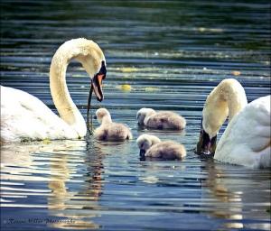 svane familie